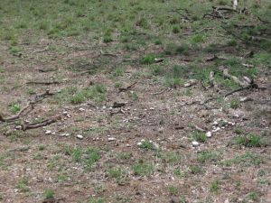 Fairy ring of field mushrooms.