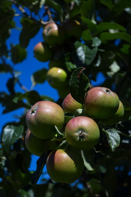 Apples_on_tree