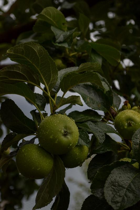 Apples_on_tree_raining